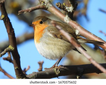European Robin is small and colorful bird.