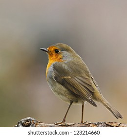 European robin stand on a sec branch