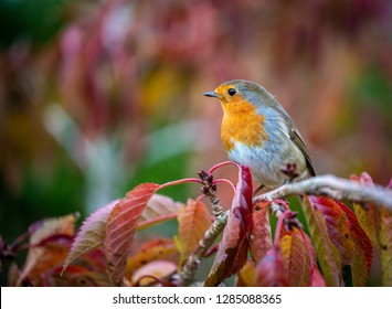 European robin taken in UK sitting on a red cherry tree leaf in Autumn in the UK. A commomn garden bird.