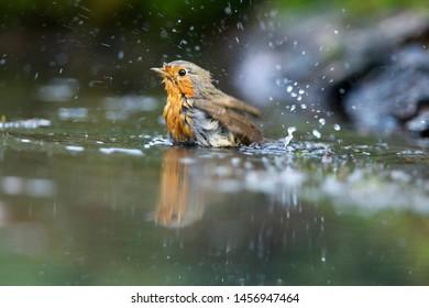 European Robin takes a bath on the Lemelerberg, the Netherlands