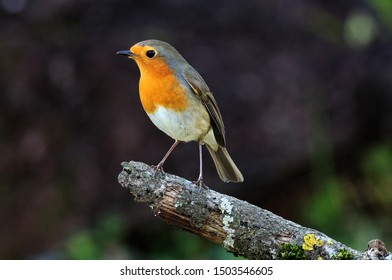 The European robin(Erithacus rubecula), known simply as the robin is a small insectivorous passerine bird,  that was formerly classified as a member ofTurdidae but is now considered to be a flycatcher