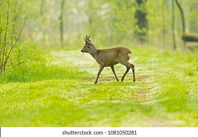 European roe deer buck crossing forest path.