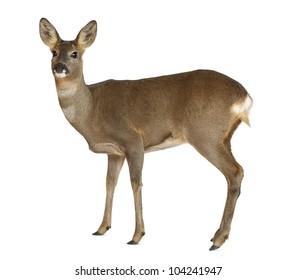 European Roe Deer, Capreolus capreolus, 3 years old, standing against white background