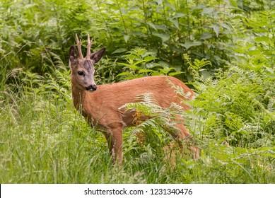 European Roe Deer (Capreolus capreolus) buck standing amongst vegetation in Tatrzanski National Park, Poland.