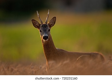 european roe deer, capreolus capreolus, Czech republic
