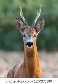 The European roe deer (Capreolus capreolus). Except for Central and Sound Europe lives mostly in Germany, France, United Kingdom (UK), Spain, Italy, Russia and Benelux countries.