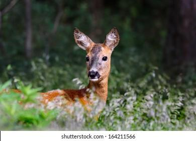 European roe deer (Capreolus capreolus) standing in deep grass