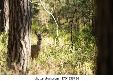 European roe deer standing behind a tree in a forest