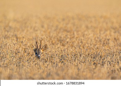The European roe deer stands in a field. A wild animal in its natural environment.
