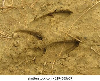 european roe deer track,