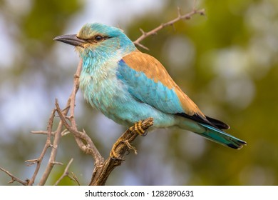 European roller (Coracias garrulus) perched on prickly branch between leaves of tree in early morning sun on african savanna in Kruger National park, South Africa