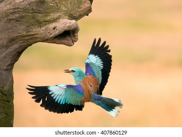 European roller in flight to his nest, clean yellow background, Hungary, Europe