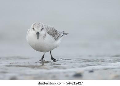 European Sanderling (Calidris alba) birds standing near the shore