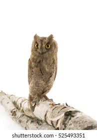 European scops owl on  white background