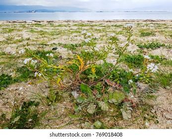 European searocket, Cakile maritima growing on coastal dunes of Galicia, Spain