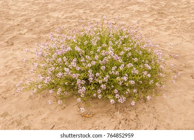 European Searocket (Cakile maritima) with light magenta flowers on a sandy beach at Agate Beach, Newport, Oregon.