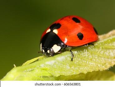 European seven spot ladybird (Coccinella septempunctata) a.k.a. Seven spotted ladybug.
