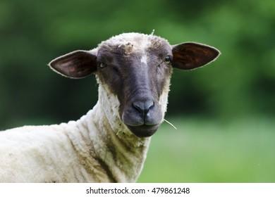 European sheep, countryside, Slovakia