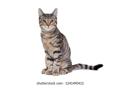 European short haired cat in front of a white background