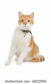 european short haired cat isolated on a white background