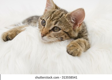 European Shorthair cat (3 months old) on the white