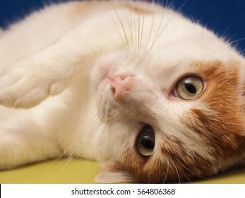 European Shorthair cat on a blue background