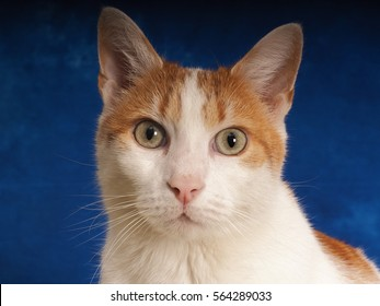 European Shorthair cat on a nice background