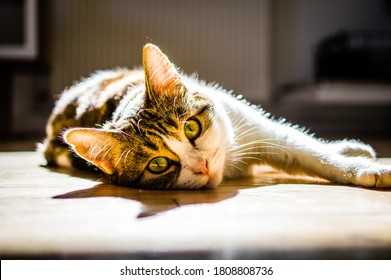 European shorthair cat with a penetrating look and green eyes