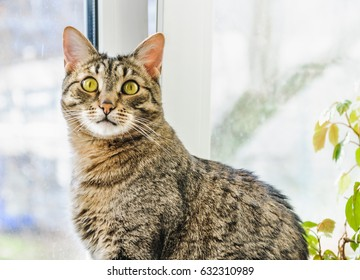 European Shorthair cat is sitting on the window sill between potted flowers