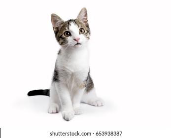 European shorthair kitten / cat sitting on white background looking up