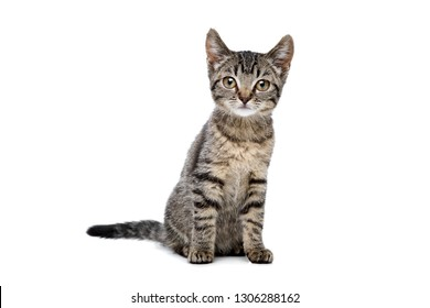 european shorthaired kitten sitting in front of a white background