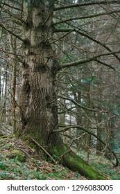 European silver fir (Abies alba) in the Carpathians