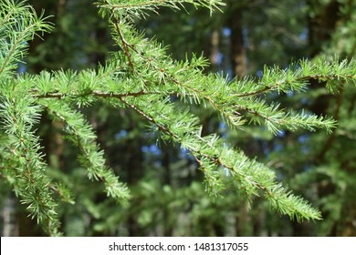 European silver fir (Abies alba)