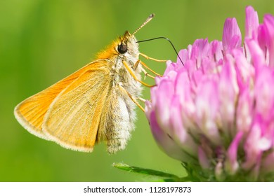 European Skipper Butterfly collecting nectar from a Red Clover flower. High Park, Toronto, Ontario, Canada.