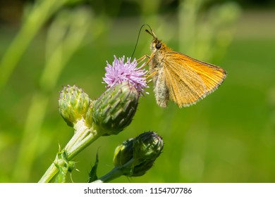 European Skipper Butterfly collecting nectar from a purple Thistle flower. Taylor Creek Park, Toronto, Ontario, Canada.