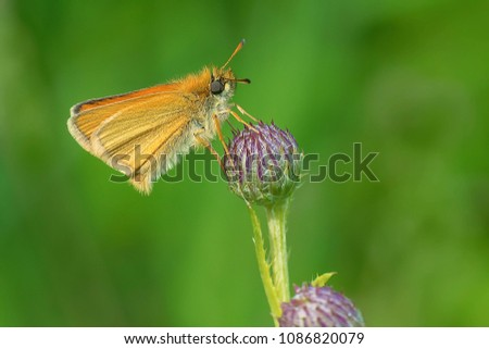 European Skipper Butterfly perched on a thistle head.