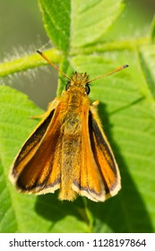 European Skipper Butterfly resting on a leaf. High Park, Toronto, Ontario, Canada.