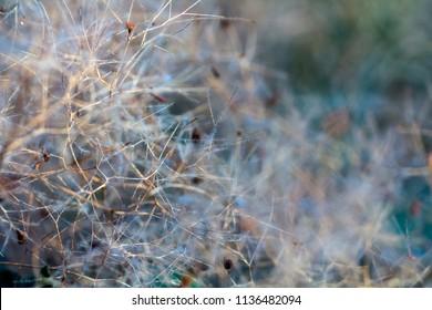 European smoketree Cotinus coggygria flowers macro