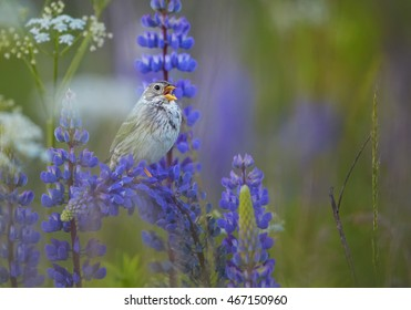 European song bird, Corn Bunting, Emberiza calandra perched on violet lupine flower and singing. Late spring flowering meadow in central european highland, Czech republic.