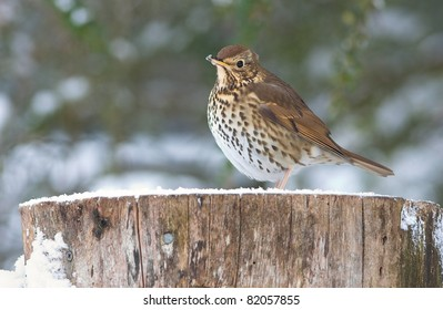European Song Thrush on Log in Winter Snow