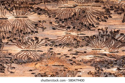 The European spruce bark beetle. Traces of a pest on a tree bark