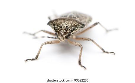 European Stink Bug Images, Stock Photos & Vectors | Shutterstock