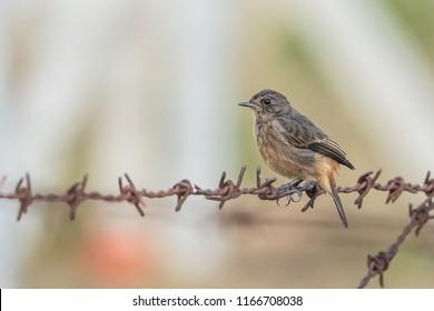 European Stonechat bird wandering around the fields of Kabini wildlife sanctuary.