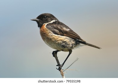 European Stonechat (Saxicola rubicola), male; a small passerine bird breeding in coastal dunes and rough grassland; shot in northern Spain