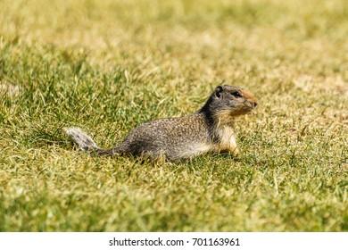 european suslik gopher or ground squirrel in the wilderness outside