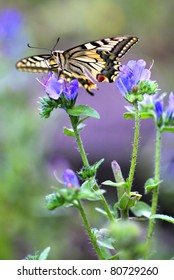 European Swallowtail butterfly Papilio machaon sitting on Echium vulgare (Viper's Bugloss or Blueweed )