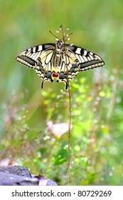 European Swallowtail butterfly Papilio machaon