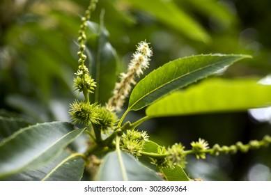 European Sweet Chestnut and flowers closeup (Castanea sativa).