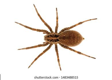 European Tarantula. Hogna Radiata.  Lycosidae family. Insolated spider in a white background.  - Shutterstock ID 1483488515