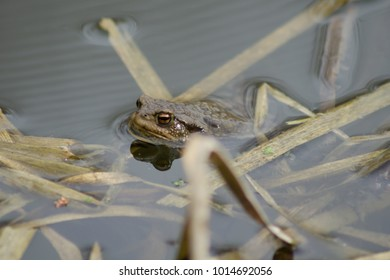 European toad (Bufo bufo) floating in the early spring pond